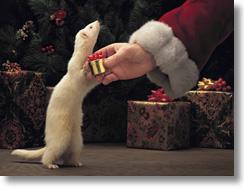 Christmas Ferret.Our Secret